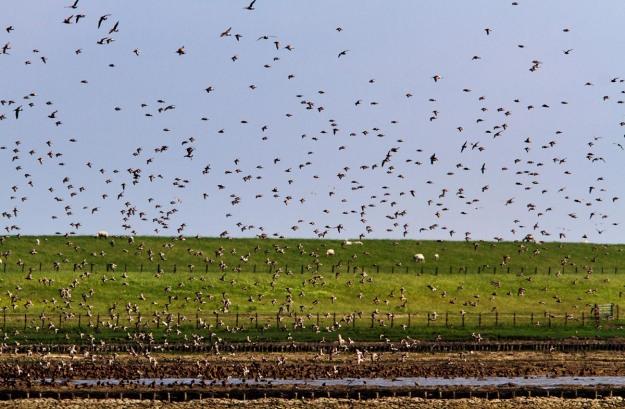 Photo of Black-tailed Godwits, Bohrinsel, Dyksterhusen, Germany