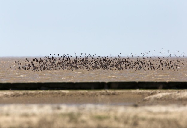 Photo of Dunlins and Knots, Bohrinsel, Dyksterhusen, Germany