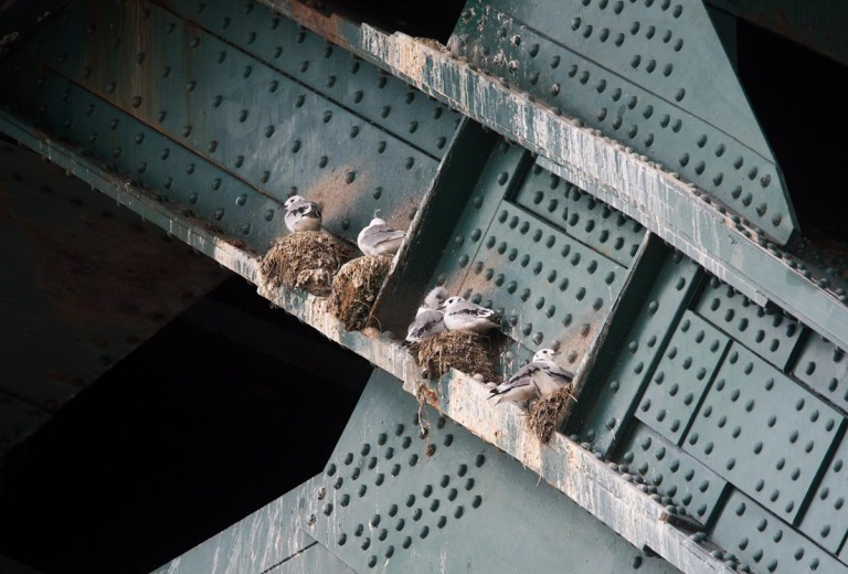 Photo of Kittiwakes, Newcastle upon Tyne, United Kingdom