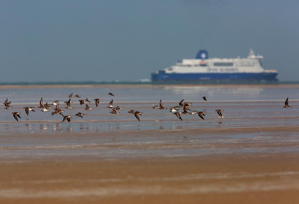 Photo of Ringed Plovers, Calais, France