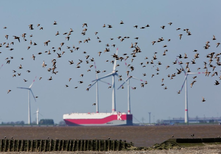 Photo of Dunlins and Knots, Wadden Sea, Germany