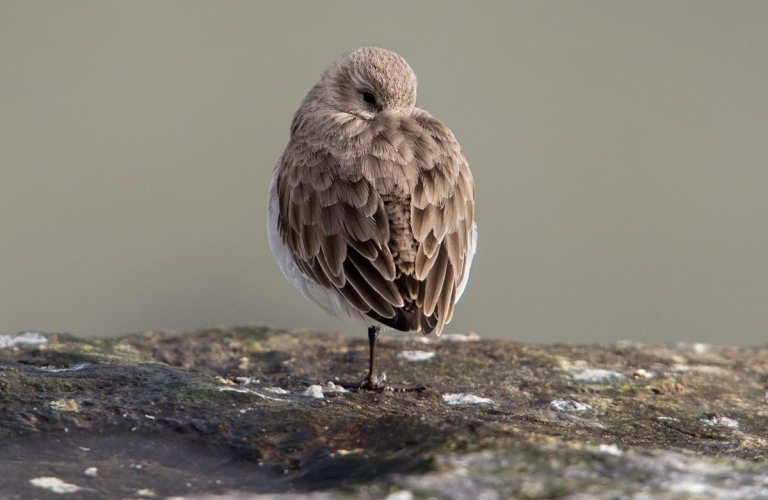 Photo of a Dunlin, Ostend, Belgium