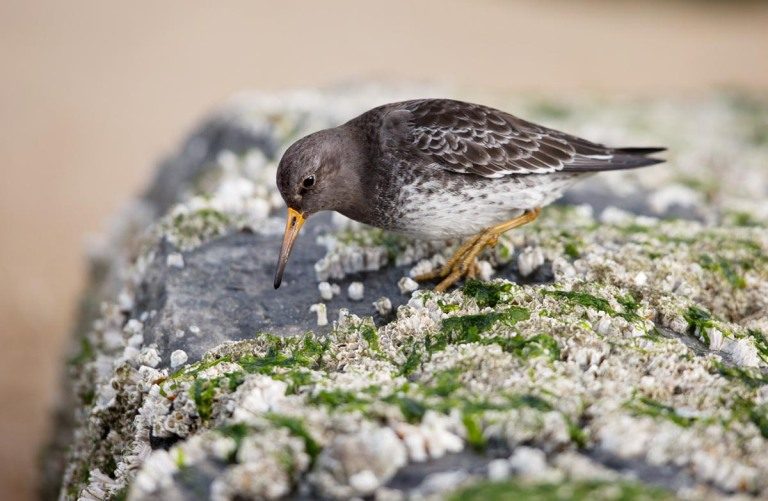 Photo of a Purple Sandpiper, Ostend, Belgium