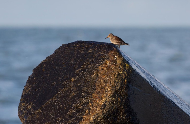 Photo of a Purple Sandpiper, Agger Tange, Thy, Denmark