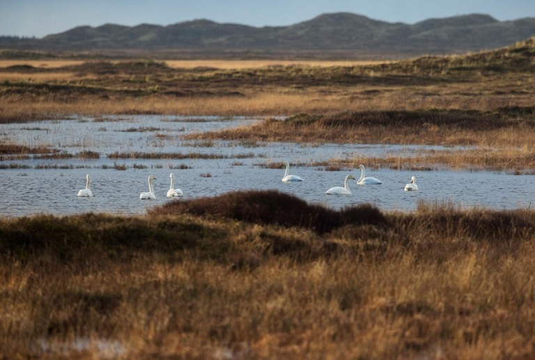 Photo of Whooper Swans, Nationalpark Thy, Denmark
