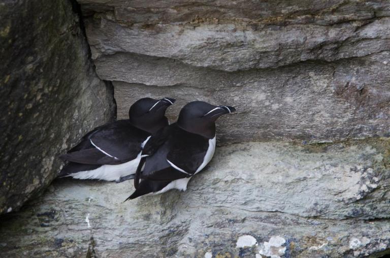 Photo of Razorbills, Castle O' Burrian, Westray, Orkney