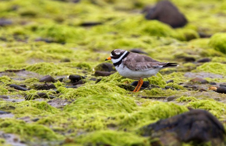 Photo of a Ringed Plover, Bay of Tuquoy,  Westray, Orkney