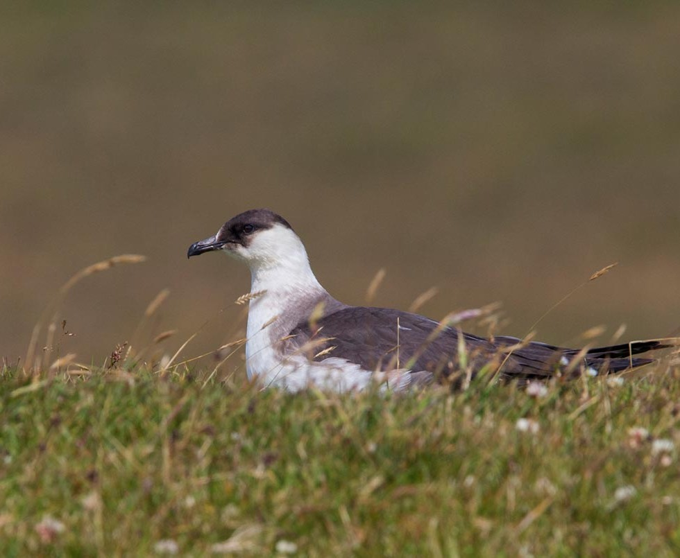 Photo of a Arctic Skua, nature reserve North Hill, Papa Westray, Orkney