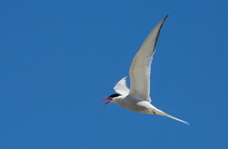 Photo of an Arctic Tern, nature reserve North Hill, Papa Westray, Orkney