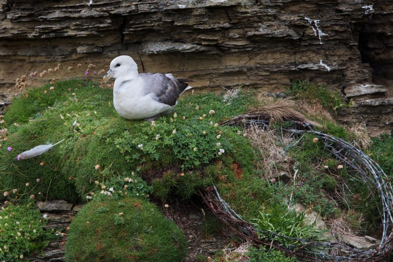Photo of a Fulmar, opposite Castle O' Burrian, Westray, Orkney