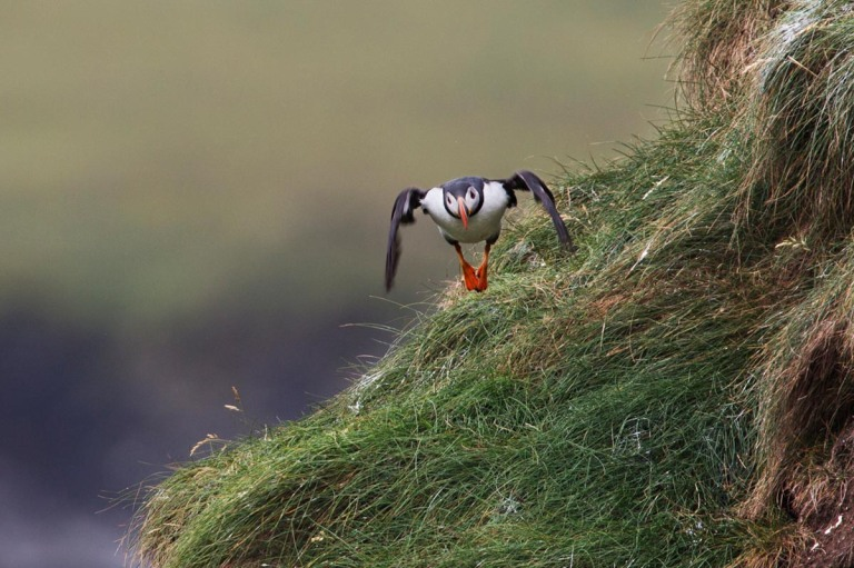 Photo of a Puffin, Castle O' Burrian, Westray, Orkney