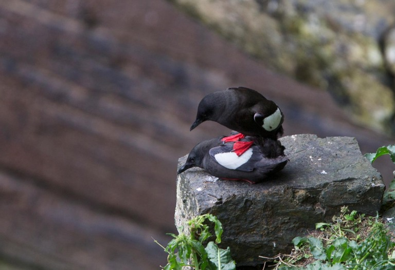 Photo of Black Guillemots, Gloup, Nature Reserve Mull Head, Mainland, Orkney