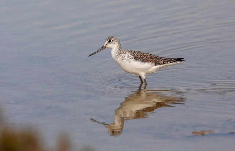 Photo of a Greenshank, Morocco