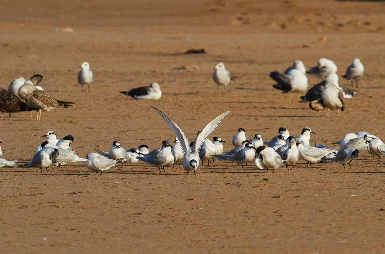 Photo of Sandwich Terns, Morocco
