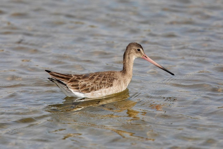Photo of a Black-tailed Godwit , Morocco