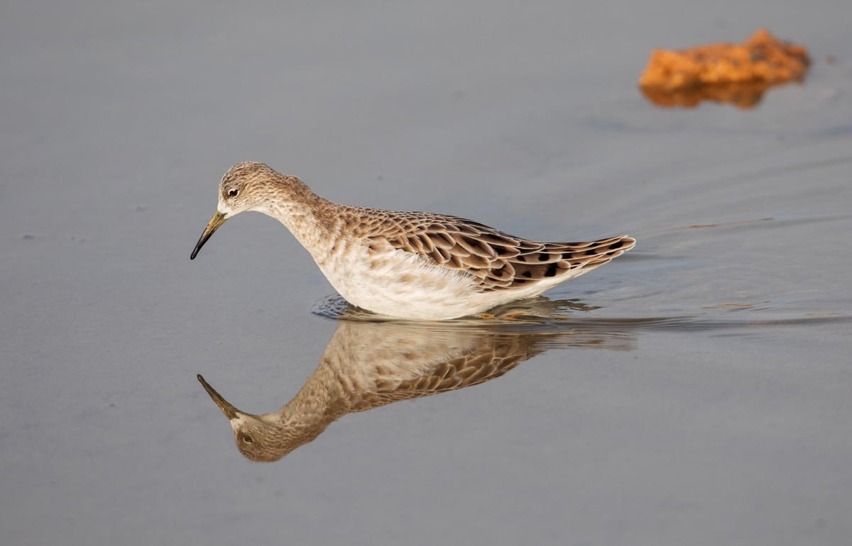 Photo of a Ruff, Morocco