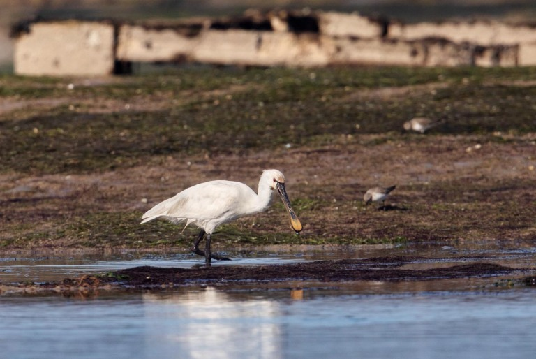 Photo of a Spoonbill, Morocco
