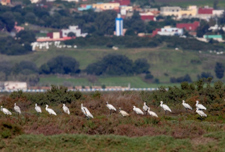 Photo of Spoonbills, Morocco