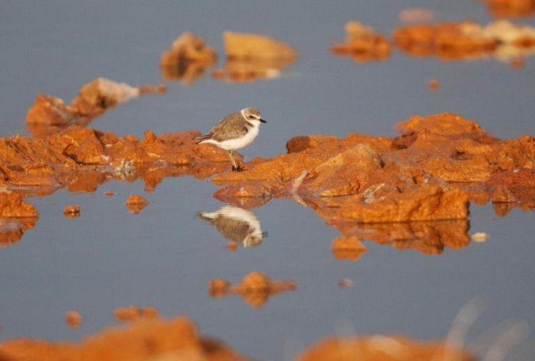 Photo of a Kentish Plover, Morocco