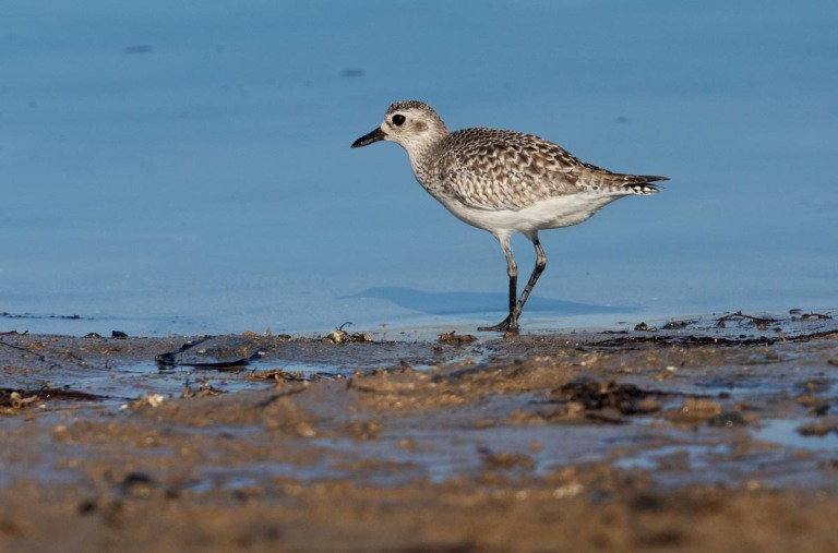 Photo of a Grey plover, Morocco